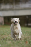 Running golden retriever dog Stock Image