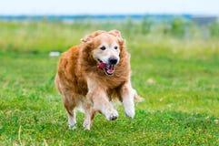 Running Golden retriever dog Stock Photo