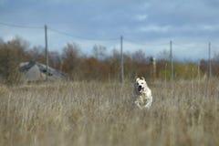Running Golden Retriever Dog Stock Photography