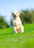 Running golden retriever in the park Royalty Free Stock Image