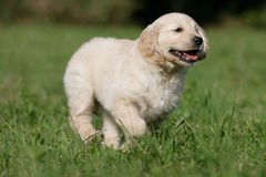 Running golden retriever puppy Royalty Free Stock Images