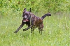 Running through the grass. A dog enjoying a wonderful spring day running through the grass Stock Photography