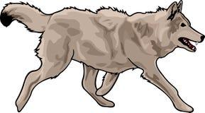 Running gray wolf royalty free illustration