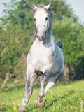 Running grey arabian horse in the meadow Royalty Free Stock Image