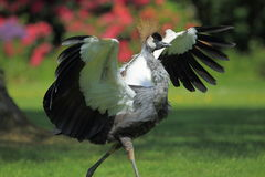 Running grey crowned crane Royalty Free Stock Photos