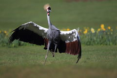 Running grey crowned crane Stock Photos