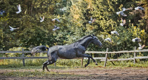 Running grey horse Royalty Free Stock Images
