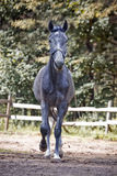 Running grey horse Royalty Free Stock Photography