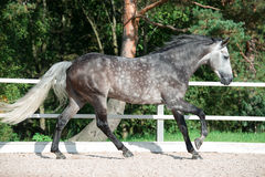 Running grey horse in manage. Outdoor royalty free stock photo