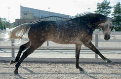 Running grey horse in manage. Outdoor royalty free stock photography
