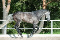 Running grey horse in manage.  royalty free stock photos