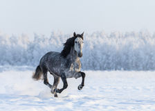 Running grey Purebred Spanish horse Stock Photos