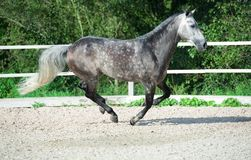 Running grey sportive horse in manage.  stock photography