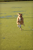 Running Greyhound. A tan greyhound running at full speed towards the camera royalty free stock photography