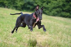 Running Greyhound royalty free stock photography