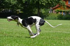 Running Greyhound puppy royalty free stock image