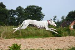 Running Greyhound Royalty Free Stock Image