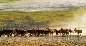 Running a group of horses. Horse herd run fast in desert dust against dramatic sunset sky royalty free stock images