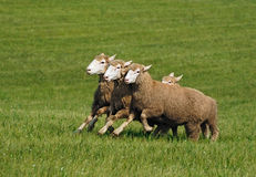 Running Group of Sheep (Ovis aries) Stock Photo