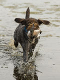Running  Gun Dog in the water Stock Image