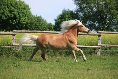 Running haflinger horse on the paddock royalty free stock images