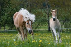 Running haflinger mare with foal Stock Photography