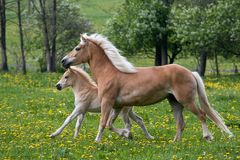Running haflinger mare with foal Stock Images