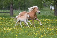 Running haflinger mare with foal