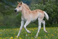 Running haflinger pony foal Royalty Free Stock Photos