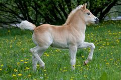 Running haflinger pony foal Royalty Free Stock Image