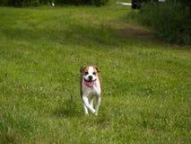 Running Happy Dog. American Bulldog running toward camera royalty free stock photography