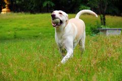 Running happy labrador. White labrador is running  happily with her ball on the fresh green field of public garden Stock Photo