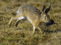 Running Hare. Hare running in a field stock photo