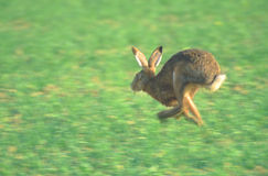 Running hare. On a field - Palatinate Germany Royalty Free Stock Photo