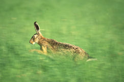 Running hare. In a meadow Stock Photos