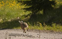 Running hare Royalty Free Stock Photography