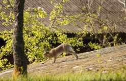 Running hare Stock Image