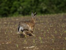 Running Hare ( Lepus europaeus ) Stock Photo