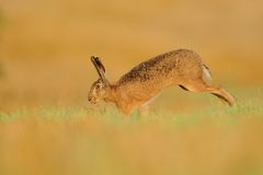 Running Hare Royalty Free Stock Images