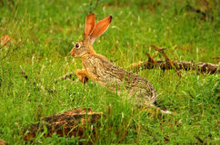 Running hare in the wild royalty free stock photos