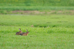 Running hares Royalty Free Stock Image