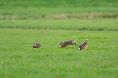 Running hares. In the fields Stock Photography