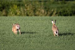 Running hares. Two hares seen from behind, running over a green grass field Stock Image