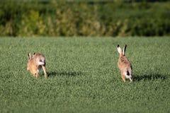 Running hares Stock Image