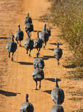 Running Helmeted Guineafowls Stock Image