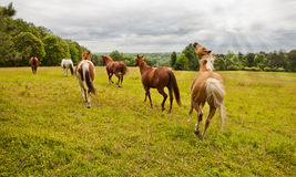 Running with the herd Royalty Free Stock Photo