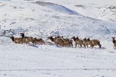Running herd of elk royalty free stock image