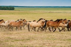 Running herd of horses on the field royalty free stock photo