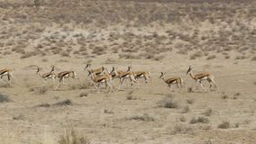 Running herd of springbok, Africa safari wildlife stock footage