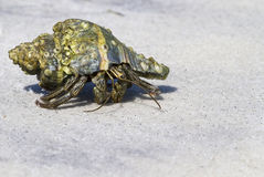 Running Hermit Crab. Hermit crab on the white sang beach of Ocaloosa Island royalty free stock photo